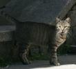 pisica_umbra
